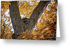 Raccoon Nape Greeting Card