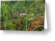 Raccoon Napping On Log Greeting Card