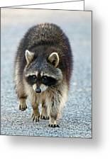 Raccoon On The Prowl Greeting Card
