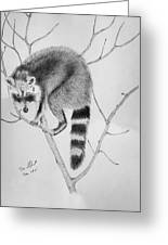 Raccoon Treed  Greeting Card