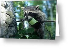 Raccoon--up We Go Greeting Card