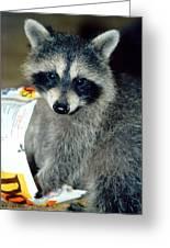 Raccoon1 Snack Bandit Greeting Card