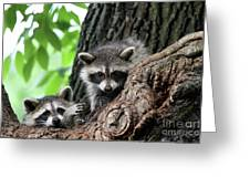 Racoons In Tree Greeting Card