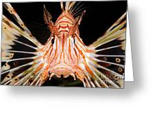 radial Lionfish Pterois radiata Greeting Card