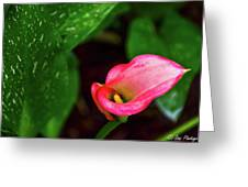 Rain Coated Pink Calla Lily Greeting Card