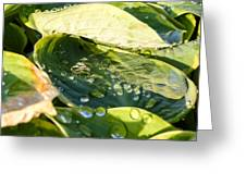 Rain Collecting On Hosta Leaves Greeting Card