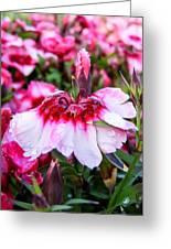 Rain Soaked Dianthus Greeting Card