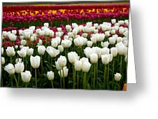 Rainbow Of Tulips Greeting Card