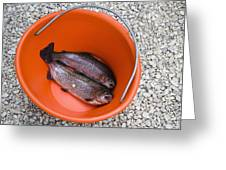 Rainbow Trout In Bucket Greeting Card by Andersen Ross
