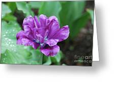 Raindrops Clinging To The Purple Petals Of A Tulip Greeting Card