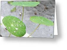 Raindrops On A Nasturtium Leaf Greeting Card