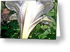 Raindrops On Madonna Lily Greeting Card