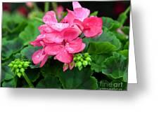 Raindrops On Pink Geranium Greeting Card