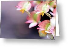 Raindrops On Rare Begoinia Blooms In Macro Greeting Card