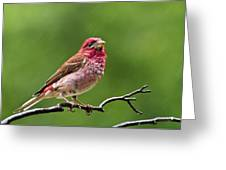 Rainy Day Bird - Purple Finch Greeting Card by Christina Rollo