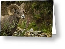 Ram Eating Fireweed Greeting Card