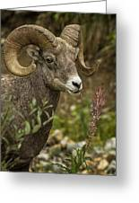Ram Eating Fireweed Cropped Greeting Card