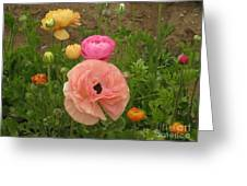 Ranunculus 4 Greeting Card