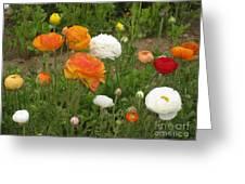 Ranunculus 5 Greeting Card