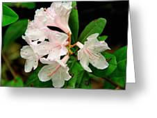 Rare Florida Beauty - Chapmans Rhododendron Greeting Card