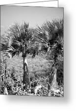 Rare Palm Trees Curacao Greeting Card