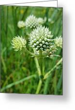 Rattlesnake Master Greeting Card