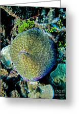 Razor Coral At Pakin Atoll Greeting Card
