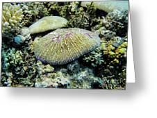 Razor Coral In Kwajalein Greeting Card