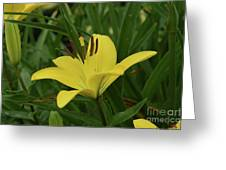 Really Beautiful Yellow Lily Growing In Nature Greeting Card