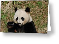 Really Great Panda Bear Chomping On A Fistful Of Bamboo Greeting Card