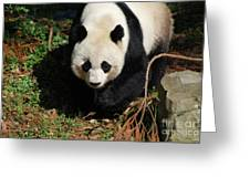 Really Sweet Giant Panda Bear Waddling Around Greeting Card