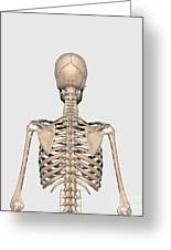 Rear View Of Human Skeletal System Greeting Card