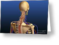 Rear View Of Human Spine And Scapula Greeting Card