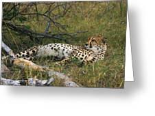 Reclining Cheetah 2 Greeting Card
