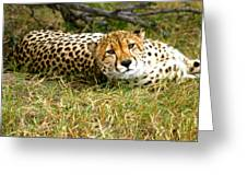Reclining Cheetah Greeting Card