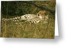 Reclining Cheetah Profile Greeting Card