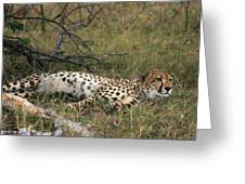 Reclining Cheetah Watching Greeting Card