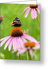 Red Admiral And Cone Flowers Greeting Card