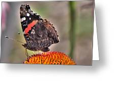 Red Admiral Butterfly On Coneflower              July              Indiana Greeting Card