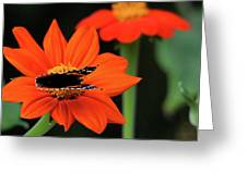 Red Admiral Nectaring On Tithonia Greeting Card