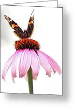Red Admiral On Echinacea Greeting Card
