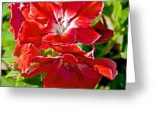 Red Amaryllis At Pilgrim Place In Claremont-california Greeting Card