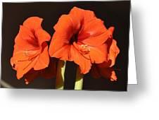 Red Amaryllis Greeting Card