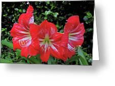 Red Amaryllis Trio Greeting Card