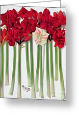 Red Amaryllis With Butterfly Greeting Card