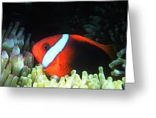 Red And Black Anemonefish, Great Barrier Reef Greeting Card
