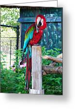 Red  And  Green Macaw         Zoo      Indiana Greeting Card