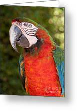 Red-and-green Macaw Greeting Card