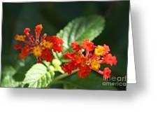 Red And Orange Lantana Greeting Card