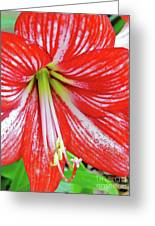 Red And White Beauty Greeting Card